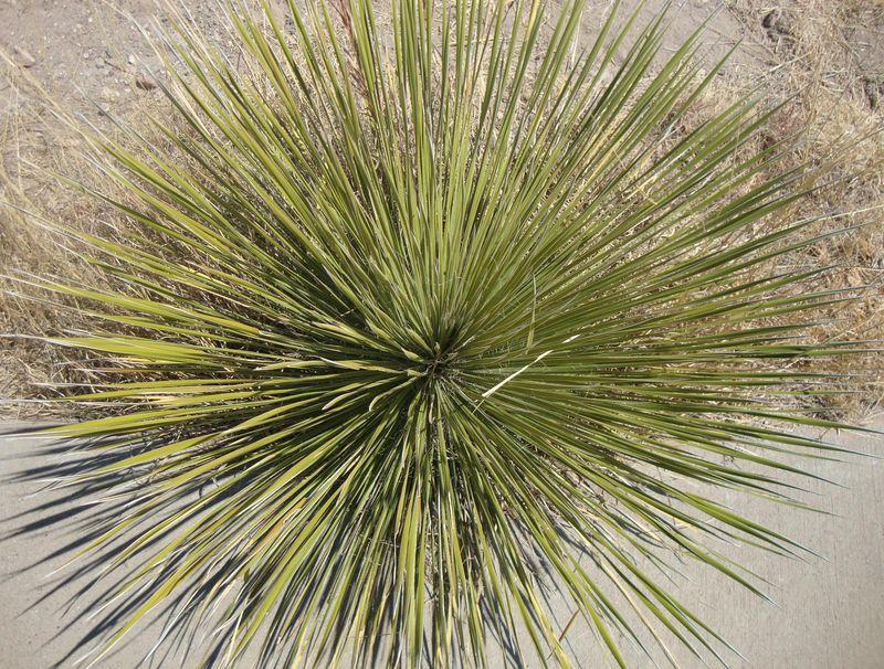 4 Chinati Cactus